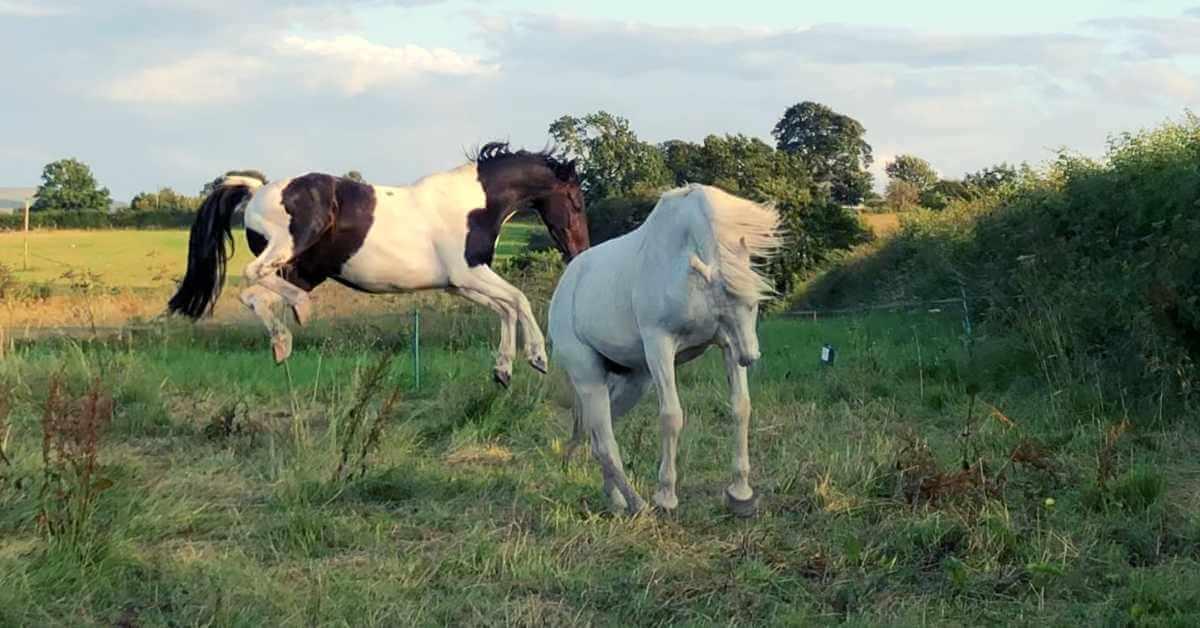 No horse laminitis