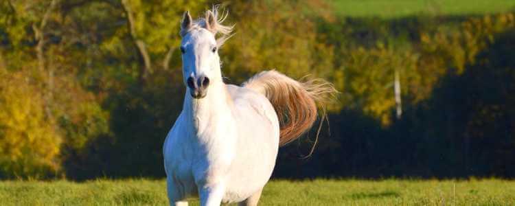 Beet Pulp for horse fermentable fibre