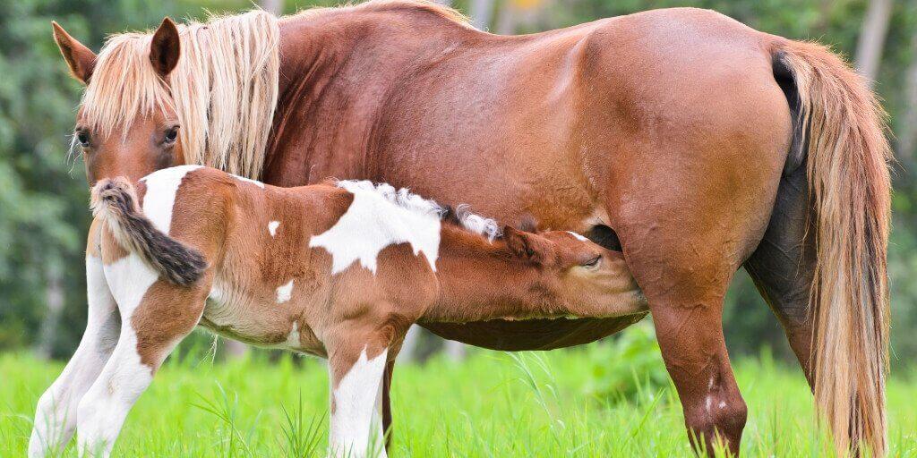 Breeding Mare Horse Balancer